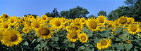 Sunflowers_Nonesuch